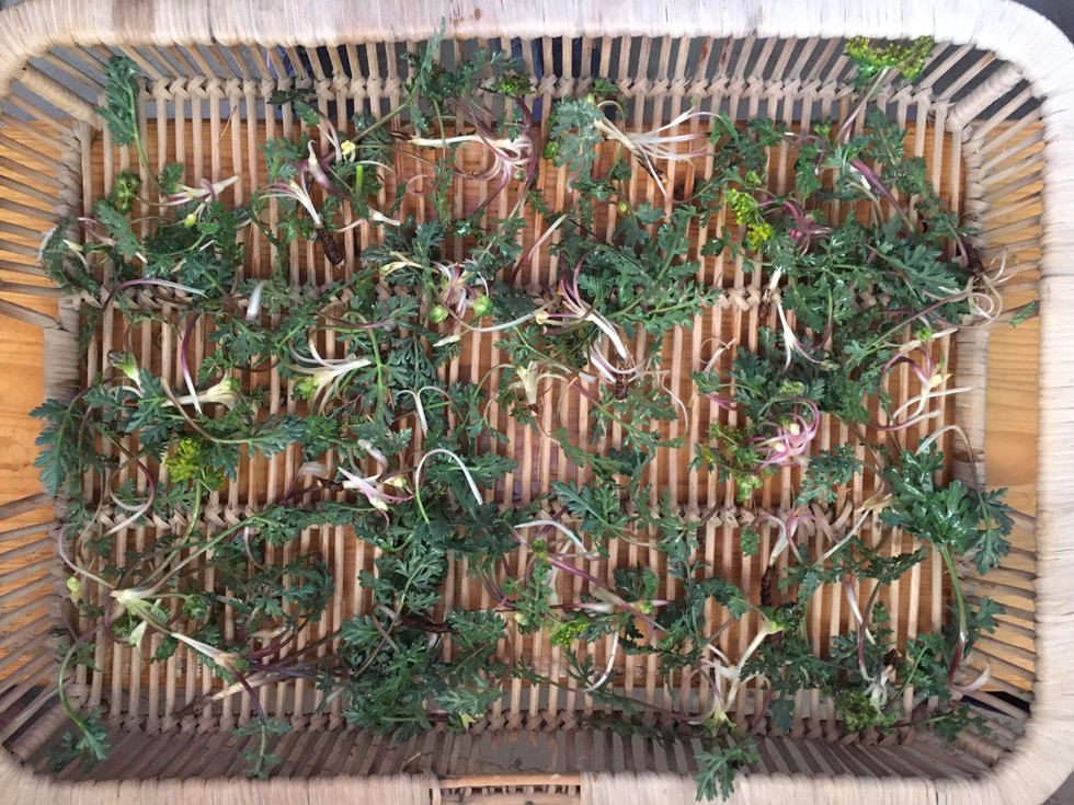 Drying Wild Parsely