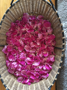 Rugosa Rose petals gathered from our foodshed/medicinal herb garden for Deborah Littlebird's herbal apothecary