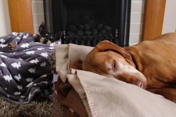 Senior Dog Home Visits