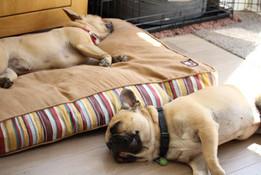French Bulldog Home Boarding