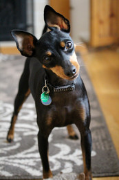 English Toy Terrier Day Care