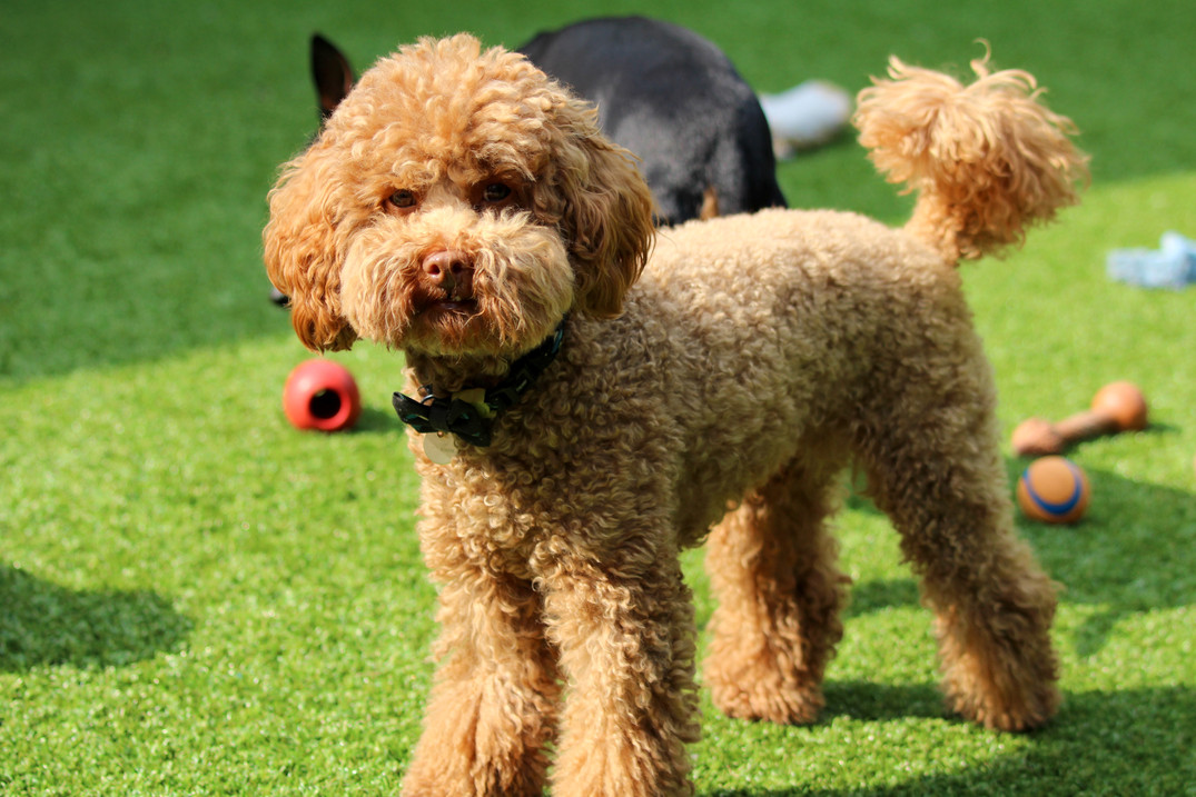Miniature Poodle Doggy Day Care