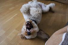 Cockapoo Doggy Day Care