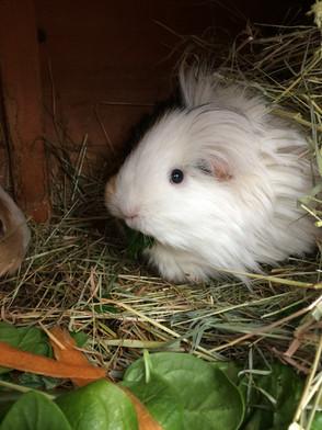 Guinea Pig Visits