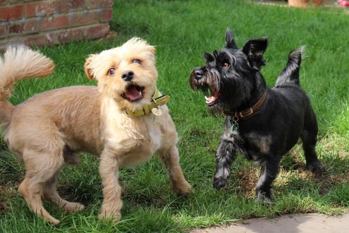 Terrier Dog Home Boarding