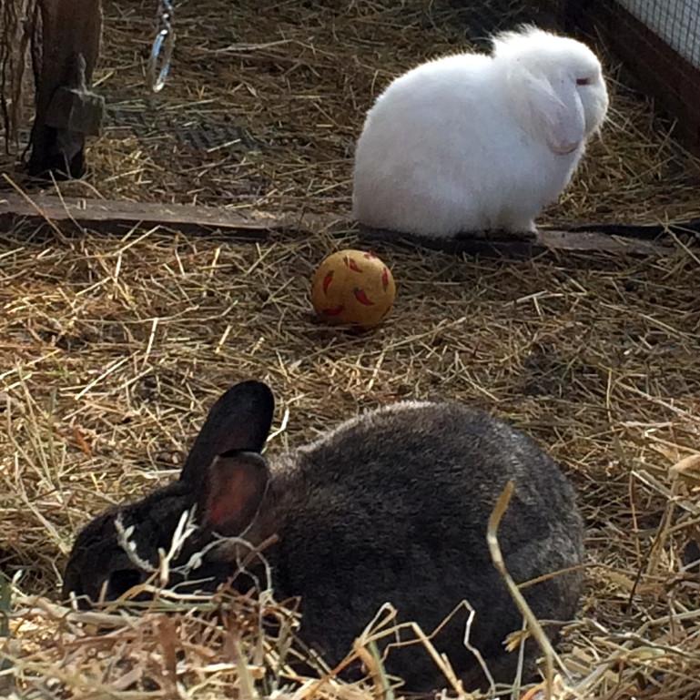 Rabbit Feeding GU14