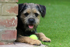 Border Terrier Dog Day Care