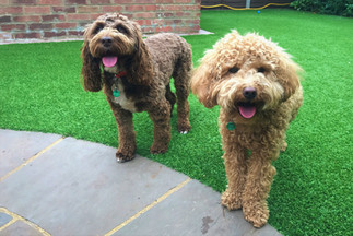 Cavapoo Dog Day Care