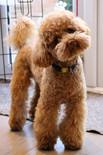 Poodle Dog Home Boarding