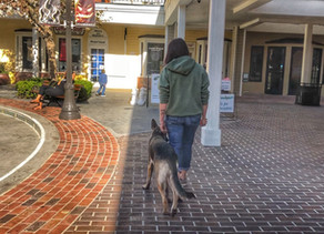 Mia | 10mo German Shepherd | Los Angeles, CA