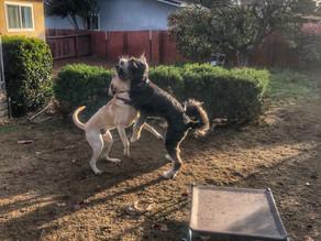 Tucker | Yellow American Labrador | Los Angeles, CA