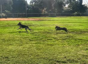 Khloe | Mini Australian Shepherd | Long Beach, CA - In Training