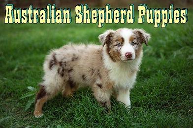 708_Australian_Shepherd_Puppies_no.2.0.j