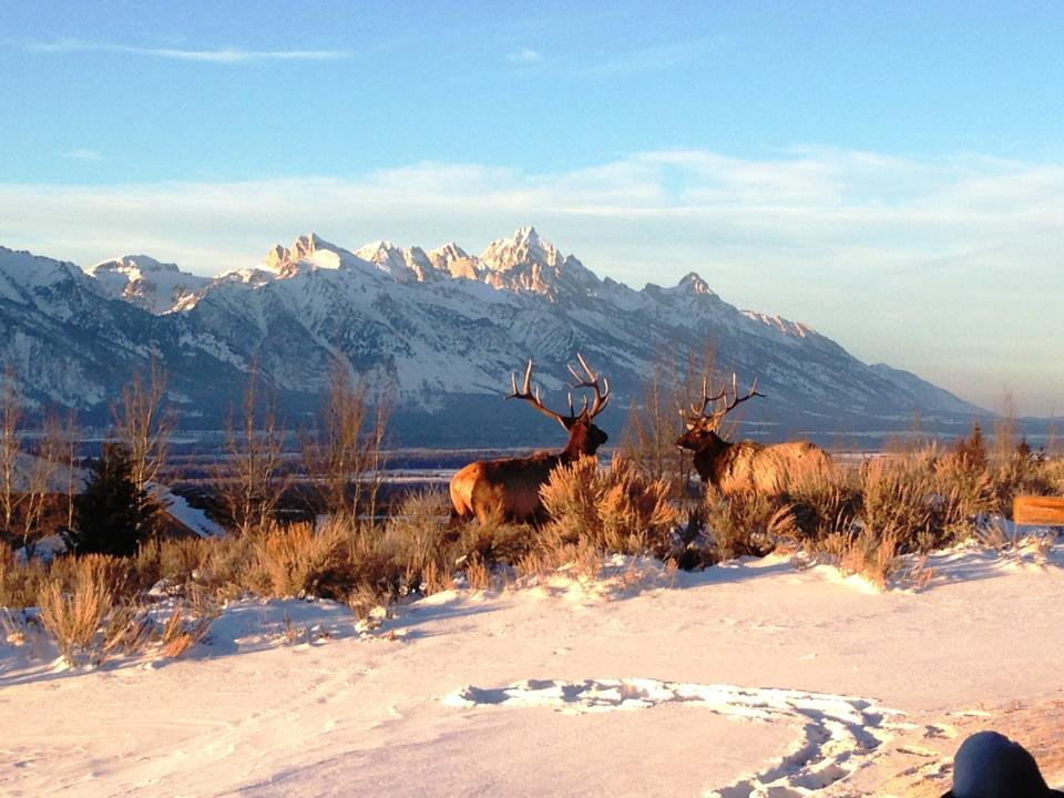 Elk Tetons