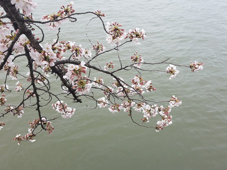The Cherry Blossoms are blooming.  The power of word of mouth.