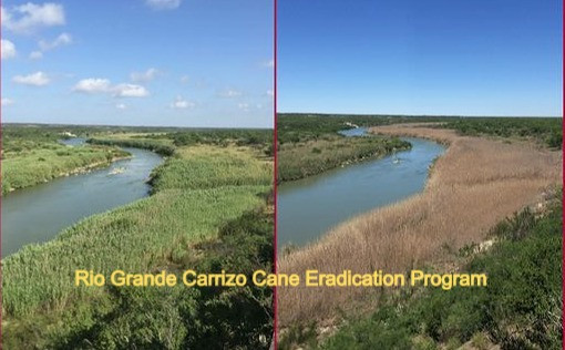 CARRIZO CANE Cane Comparison 2_preview[1