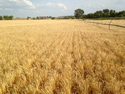 Montana barley in late stage growth.