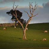 square_cows_deadtree.jpg