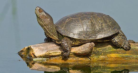 болотная черепаха.jpg