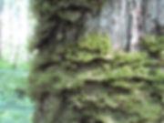 неккера перистая фото.jpg