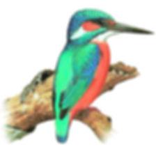 обыкновенный зимородок.jpg