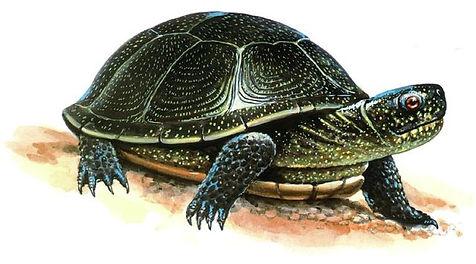 болотная черепаха ил.jpg