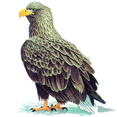 орлан-белохвост.jpg