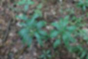 лилия кудреватая 3.jpg