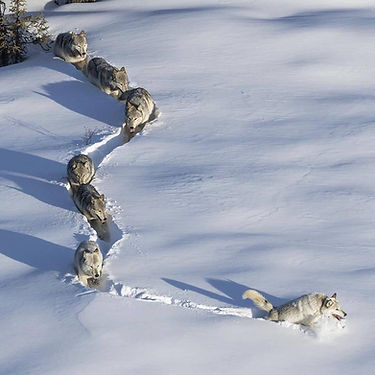 Wolves traveling though snow.