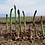 Thumbnail: Perennial Asparagus and Culinary Wine Cap Mushroom Bed, Douglas Fir