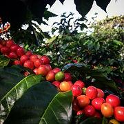 Finca de Café en El Salvador, Gilberto Barahona, Bourbon Naranja, Borbon Naranja