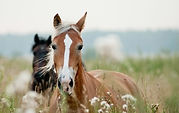horses-ears_edited.jpg