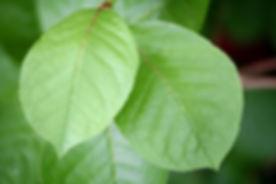two-green-leaves.jpg