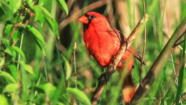 Red Cardinal at Branch.jpg
