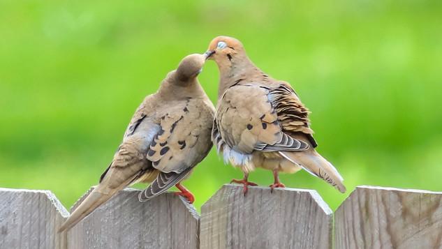 Dove Love-crop.JPG