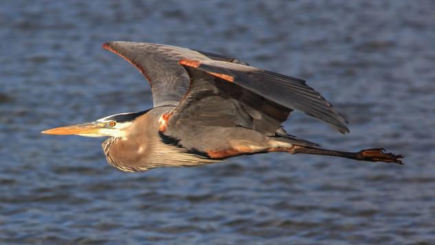 Great Heron Flying Above Lake.jpg