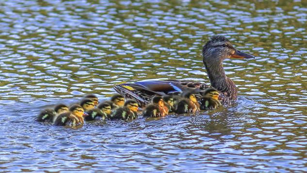 Baby ducks1.jpg
