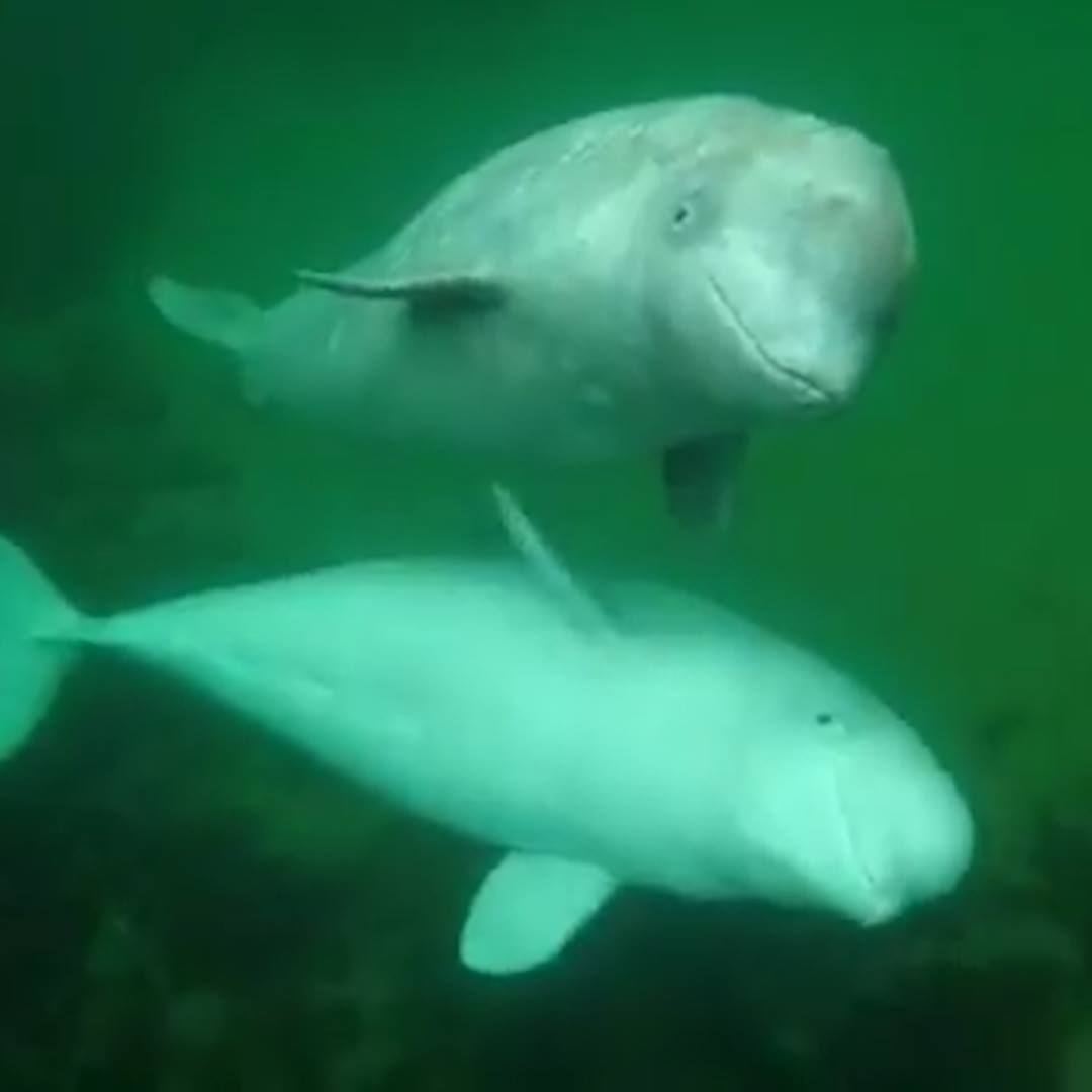 Pair of belugas greet boaters