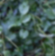 Madeira Vine