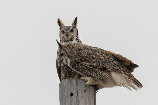 SK_2019_11_10 Owls 800 1693dncr copy.jpg