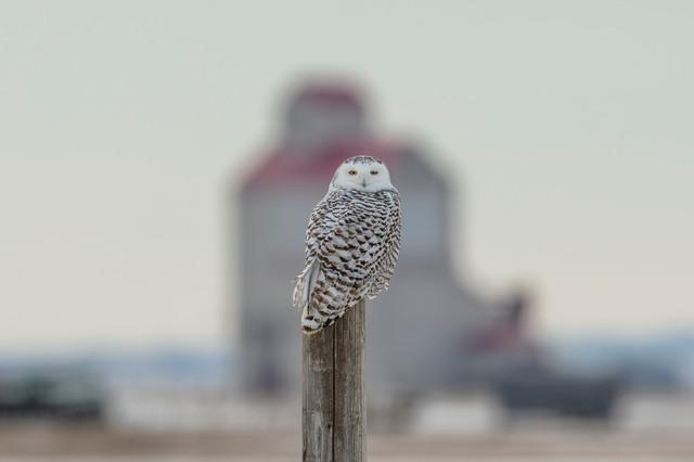 SK_2018_12_16 Owls  435dncr.jpg