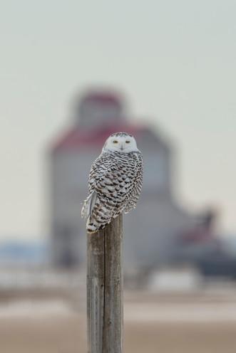 SK_2018_12_16 Owls  435dncr2.jpg