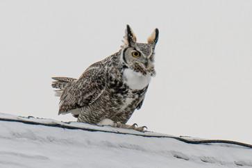 SK_2019_11_10 Owls 800 1735dncr copy.jpg