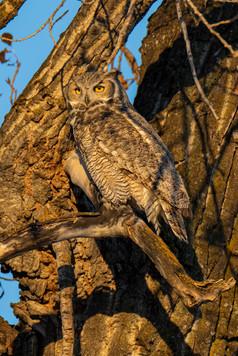 SK_2019_11_11 Owls 800 0631dncr.jpg
