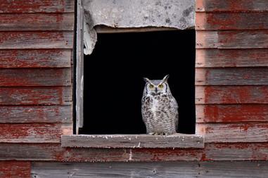 SK_2019_01_05 Owls 0953dncr2.jpg