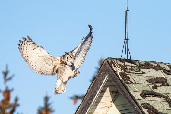 SK_2019_11_11 Owls 800 0415dncr.jpg
