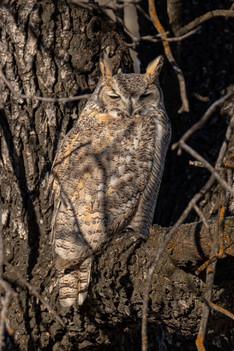 SK_2019_11_11 Owls 800 0250dncr.jpg