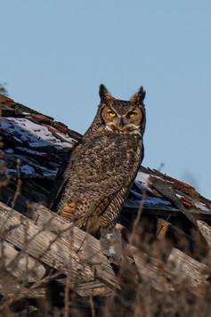 SK_2019_11_11 Owls 800 1021dncr.jpg