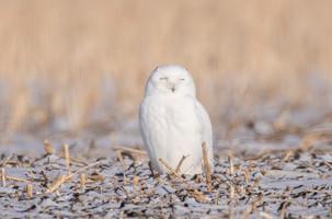 SK_2019_11_11 Owls 800 1566dncr.jpg