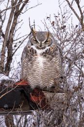 SK_2019_11_10 Owls 800 0868dncr copy.jpg